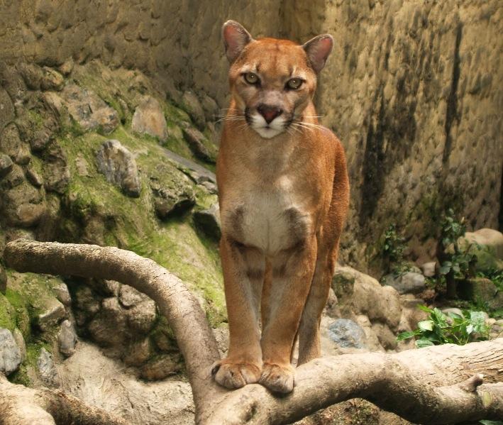 Puma_(Puma_concolor)